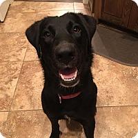 Adopt A Pet :: Sadie Anne - Brattleboro, VT