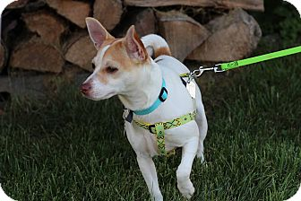 Jack Russell Terrier Mix Dog for adoption in Mount Gretna, Pennsylvania - Nikita