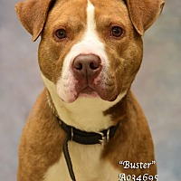 American Pit Bull Terrier Mix Dog for adoption in Newnan City, Georgia - Buster