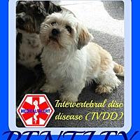 Maltese/Lhasa Apso Mix Dog for adoption in Halifax, Nova Scotia - BENTLEY