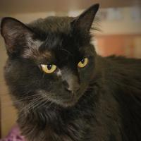 Adopt A Pet :: Midnight - Rochester, MN