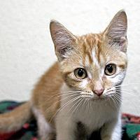Adopt A Pet :: Mango - Troy, MI