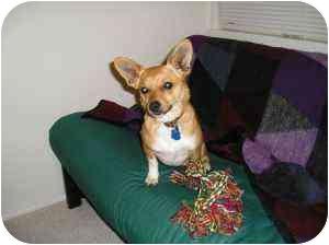 Pembroke Welsh Corgi/Chihuahua Mix Dog for adoption in Lomita, California - Rusty