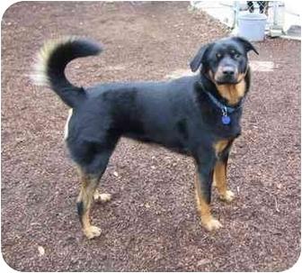 Australian Shepherd Mix Dog for adoption in Tracy, California - Jackie