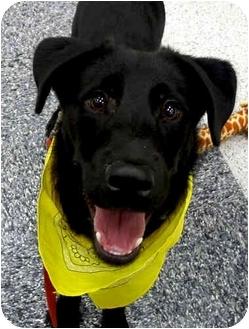 Border Collie/Labrador Retriever Mix Dog for adoption in Sacramento, California - Einstein smart pup