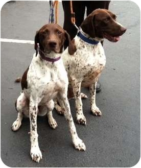 German Shorthaired Pointer Dog for adoption in Seattle, Washington - Frank and Gus - FOSTER NEEDED