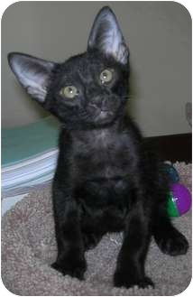 Oriental Kitten for adoption in Houston, Texas - Sam Spade