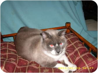 Snowshoe Cat for adoption in Wilmington, Delaware - Nathan