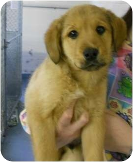 Golden Retriever/German Shepherd Dog Mix Puppy for adoption in Hammonton, New Jersey - barney