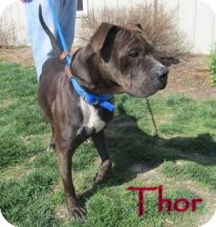 Pit Bull Terrier Mix Dog for adoption in Frankfort, Indiana - Thor