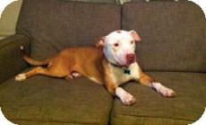 American Pit Bull Terrier Mix Dog for adoption in Framingham, Massachusetts - Charlie