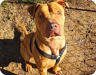 American Pit Bull Terrier Mix Dog for adoption in Yuba City, California - *12/26 Arthur