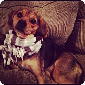 Pug/Beagle Mix Dog for adoption in Minneapolis, Minnesota - Daisy