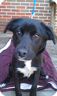 Labrador Retriever/Boxer Mix Dog for adoption in Waldorf, Maryland - Star #309