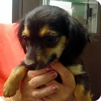 Dachshund/Cocker Spaniel Mix Puppy for adoption in Greencastle, North Carolina - Randi