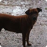 Labrador Retriever/Rhodesian Ridgeback Mix Dog for adoption in Baton Rouge, Louisiana - Lil Bit