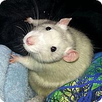 Adopt A Pet :: Snowbelle - Lakewood, WA