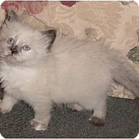 Adopt A Pet :: Maya - Franklin, NC
