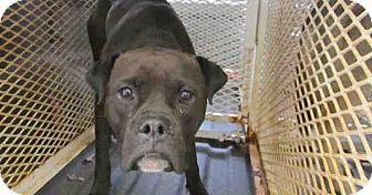 Boxer Mix Puppy for adoption in Newnan City, Georgia - Gigi