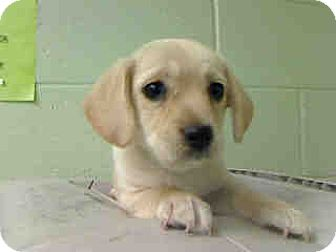 Dachshund/Beagle Mix Puppy for adoption in Long Beach, California - Apricot