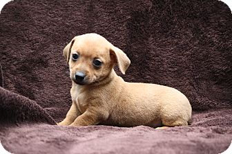 Dachshund/Terrier (Unknown Type, Small) Mix Puppy for adoption in West Milford, New Jersey - ELLA
