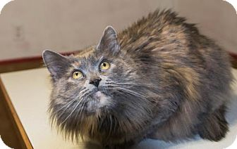Domestic Longhair Cat for adoption in Napoleon, Ohio - Baher