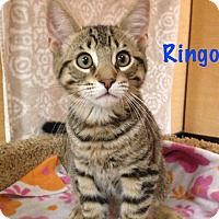 Adopt A Pet :: Ringo - Foothill Ranch, CA