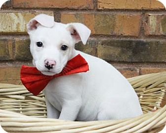 Pit Bull Terrier Mix Puppy for adoption in Benbrook, Texas - Kong