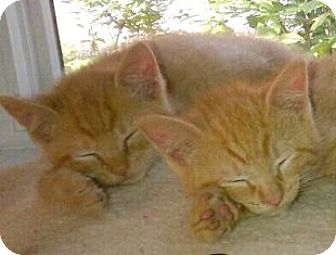 Domestic Shorthair Kitten for adoption in Walworth, New York - Sparky & Buster