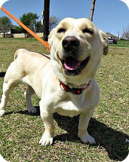 Labrador Retriever/Basset Hound Mix Dog for adoption in McKinney, Texas - Aurora