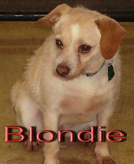 Chihuahua Mix Dog for adoption in Coleman, Texas - Blondie