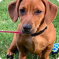 Adopt A Pet :: *Ronan - PENDING - Westport, CT