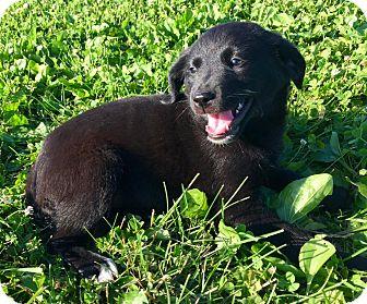 Border Terrier/Labrador Retriever Mix Puppy for adoption in Lisbon, Iowa - Bess