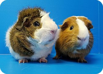 Guinea Pig for adoption in Lewisville, Texas - Troye and Ricky