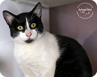 Domestic Shorthair Cat for adoption in Lyons, New York - Mars