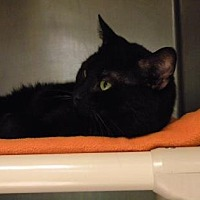 Domestic Shorthair/Domestic Shorthair Mix Cat for adoption in Anderson, Indiana - Dr Pepper