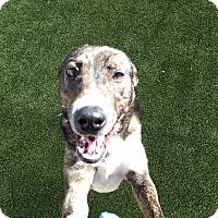 Adopt A Pet :: Daisy - West Hartford, CT