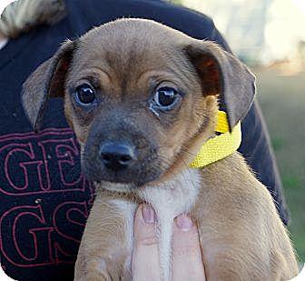 Chihuahua/Dachshund Mix Puppy for adoption in West Nyack, New York - Venus