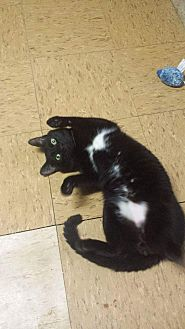 Domestic Shorthair Cat for adoption in Bronx, New York - Bossy