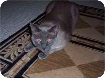 Siamese Cat for adoption in Arlington, Virginia - Luna