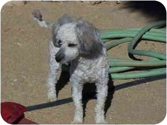 Poodle (Miniature) Puppy for adoption in Joshua Tree, California - Cookie