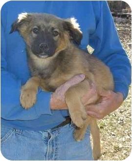 Shepherd (Unknown Type)/Golden Retriever Mix Puppy for adoption in Haughton, Louisiana - Roscoe