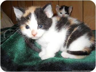 Domestic Shorthair Kitten for adoption in Morden, Manitoba - Sunshine