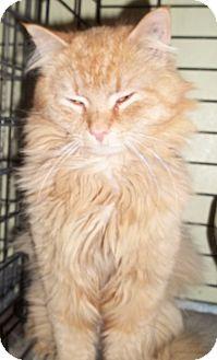 Domestic Longhair Cat for adoption in Acme, Pennsylvania - Bullet