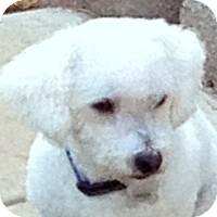 Bichon Frise Dog for adoption in La Costa, California - Jaxon