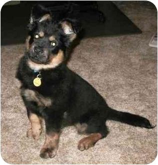 Chow Chow Mix Puppy for adoption in Auburn, California - Douglas