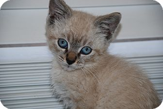 Siamese Kitten for adoption in Ogden, Utah - Sunny