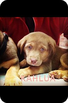 Labrador Retriever/Shepherd (Unknown Type) Mix Puppy for adoption in Cranford, New Jersey - Kahlua