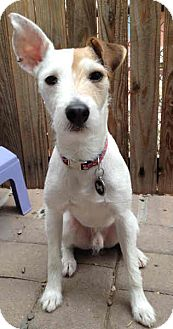 Jack Russell Terrier Dog for adoption in Phoenix, Arizona - DALLAS