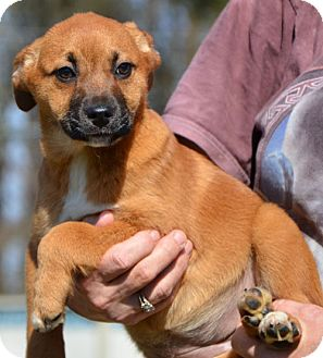 Labrador Retriever Mix Puppy for adoption in Washington, D.C. - Sage
